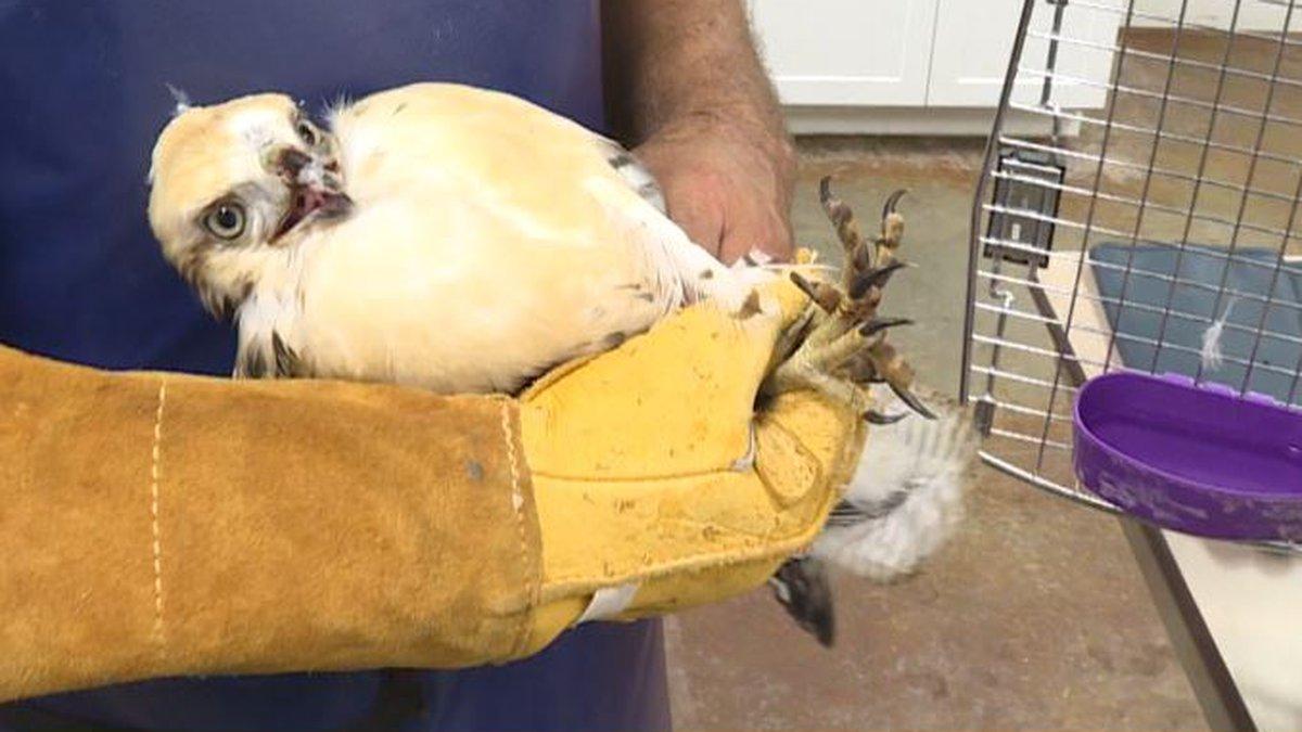 Rescued hawk at Dakota Zoo