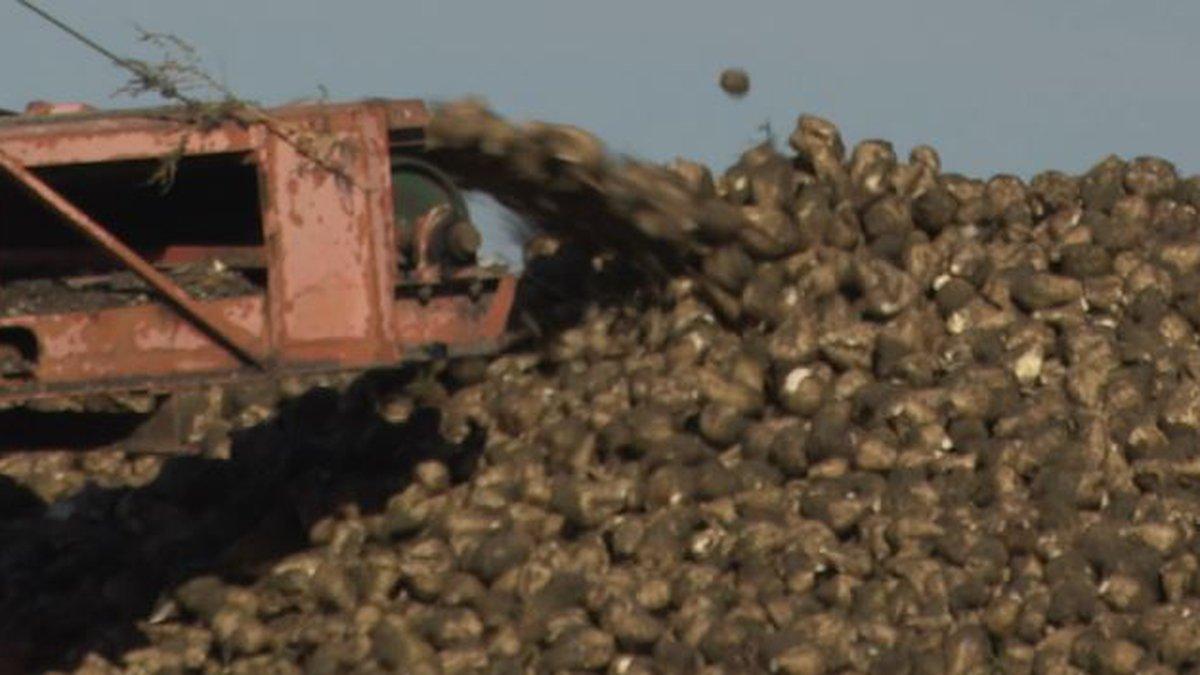 Sugar beet stockpile at Sidney Sugars