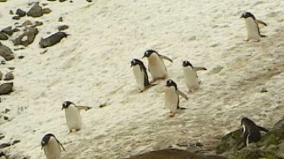 New research indicates that Antarctic penguins may benefit from less sea ice.(Source: CNN)