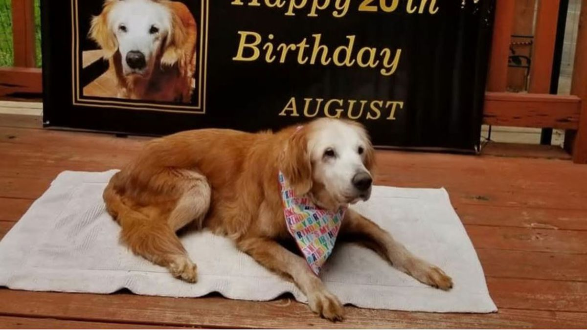 In a blog post about August on the GoldHeart Golden Retrievers Rescue website, it's revealed she was born on April 23, 2000, when Bill Clinton was still the president.(Jennifer and Steve Hetterscheidt via GoldHeart Golden Retrievers Rescue)