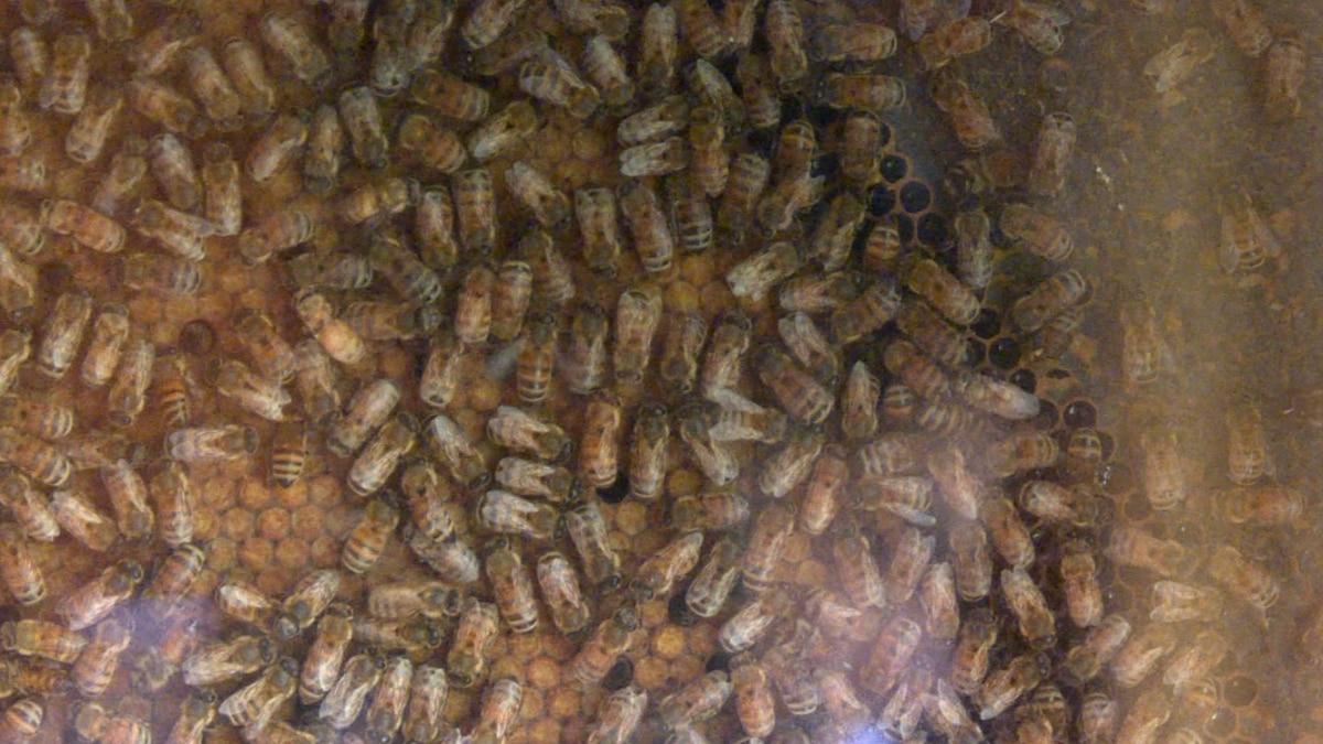 North Dakota bees