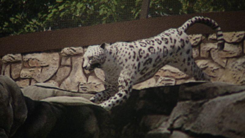 New Amur Leopard Exhibit