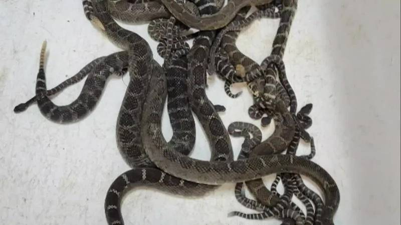 Nearly 100 rattlesnakes were found under a California home. An expert blamed the drought for...