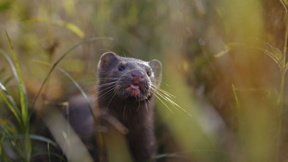 In this Sept. 4, 2015 file photo, a mink sniffs the air as he surveys the river beach in search of food, in a meadow near the village of Khatenchitsy, northwest of Minsk, Belarus.
