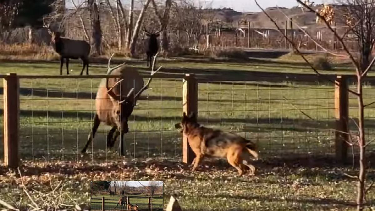 Video of a dog and elk taken by Colorado Parks and Wildlife show the pair running up and down a fenceline in Colorado.  Video courtesy CPW taken 12/10/19.
