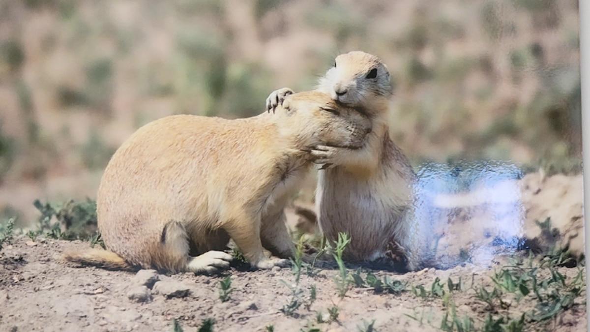 'Prairie Dog Embrace'