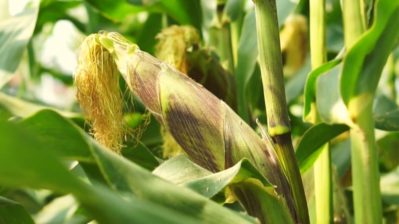A bushel of corn now costs nearly double what it did one year ago.