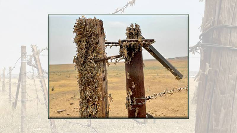 Grasshoppers thrive in this hot, dry weather and they are moving into the state, destroying...